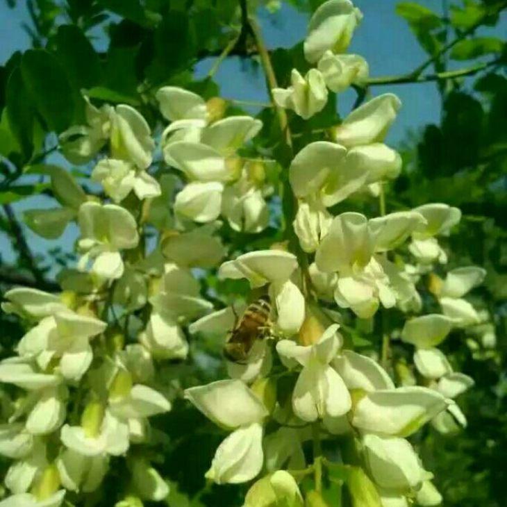 这是春天槐花开的时候,小蜜蜂忙的不知道东西南北[偷笑]