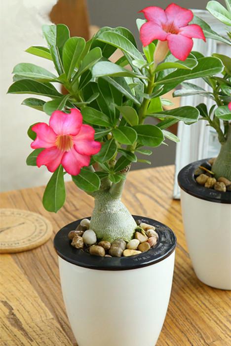 沙漠玫瑰_沙漠玫瑰绿植盆栽花卉室内观花水培植物办公室桌面绿色小盆景