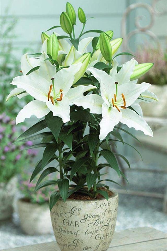 香水百合种球花卉盆栽套餐绿植四季百合花种球种子春夏秋冬种植